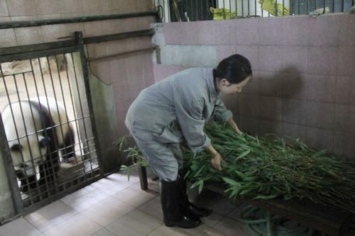 熊猫与竹子简笔画_熊猫吃竹子图片简笔画