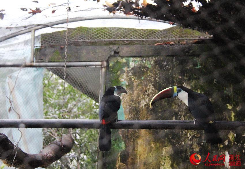 1月22日上午,杭州动物园的工作人员在巨嘴鸟的饲养区域上拉起了雨棚.