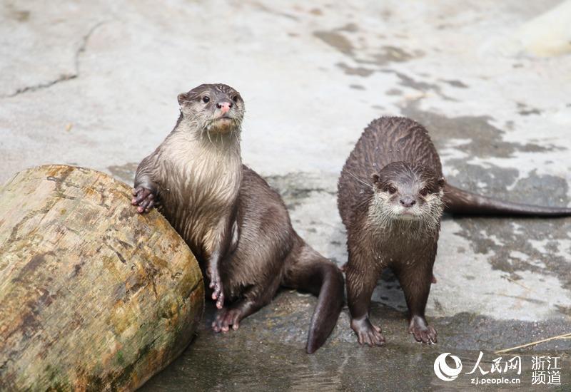 这也是浙江局辖区首次引进野生动物水獭.