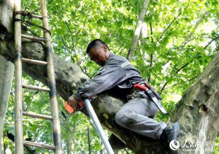 园林工人顶着烈日做好防台树木支撑.