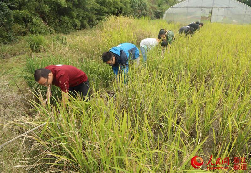 浙江农林大学300师生校园里参加秋收劳动体验农耕文化