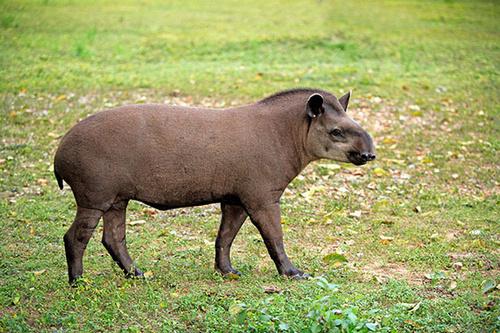 小小的眼睛总是一副没睡醒的样子,这种奇特又有趣的动物,叫做南美貘.