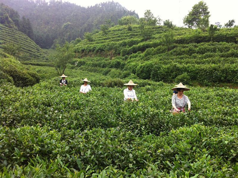 衢州:开化龙顶茶新标准发布    据了解,《开化龙顶茶加工技术规程》是由开化县特产局(茶叶局)和中国农科院茶叶研究所共同起草……【详细】