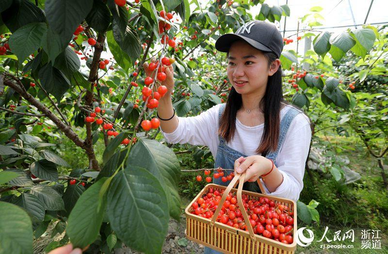 4月22日,游客正在宁波余姚梁弄镇樱桃园里采摘樱桃。章勇涛 摄
