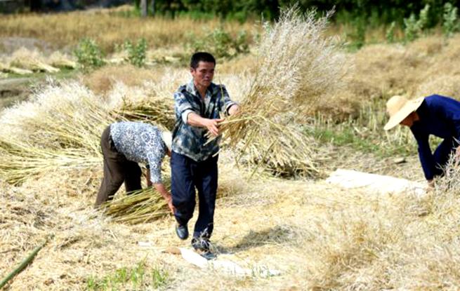 杭州富阳:收获油菜籽