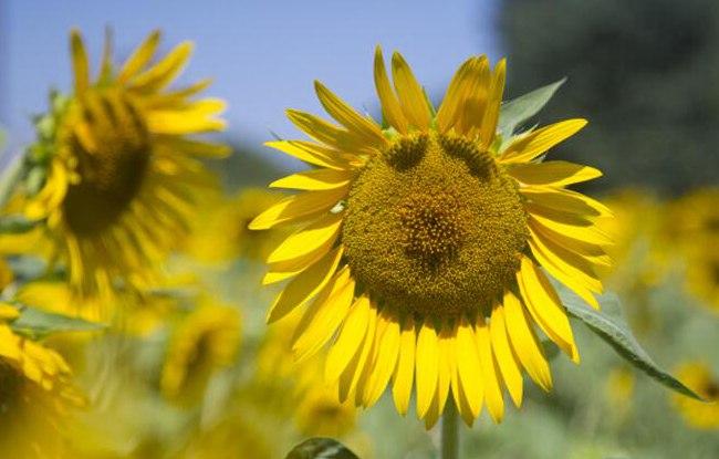 """杭州的阳光厉害了 向日葵被晒成""""�濉绷�"""