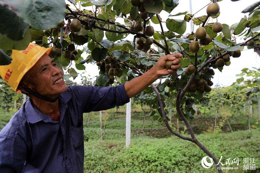 台州:农户喜摘猕猴桃