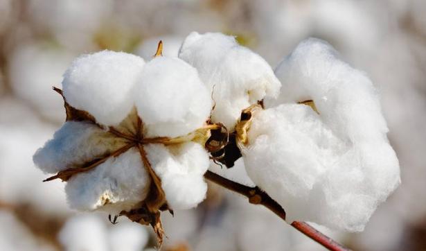 无膜种棉技术助力新疆棉花生产可持续发展