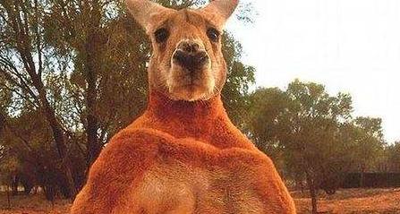 澳大利亚一家遭袋鼠袭击 三人受伤