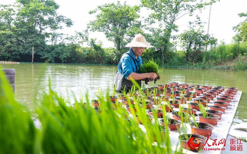 湖州吳興:水稻河上種 綠色又高產