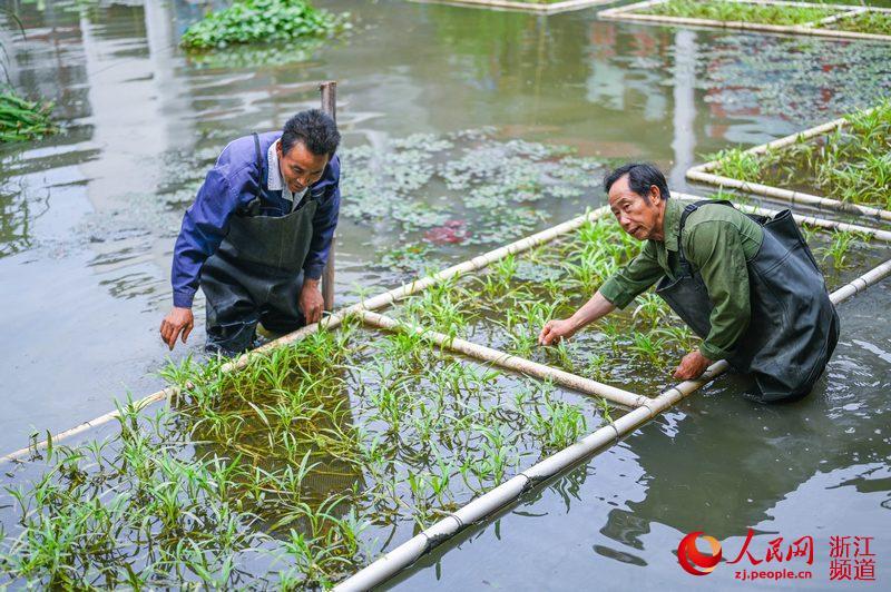 水生蔬菜既可以净化水质,又鲜嫩可口。