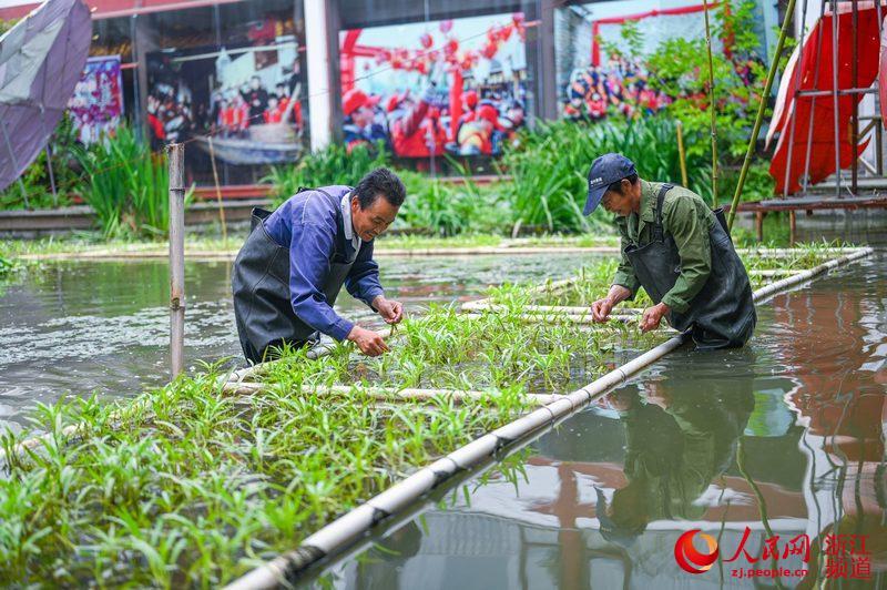 工作人员正在采摘空心菜。
