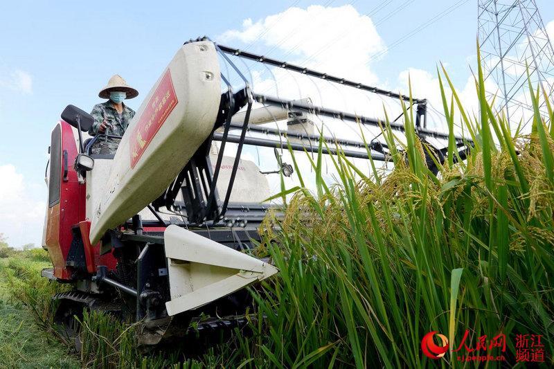 种粮大户正在收割晚稻。