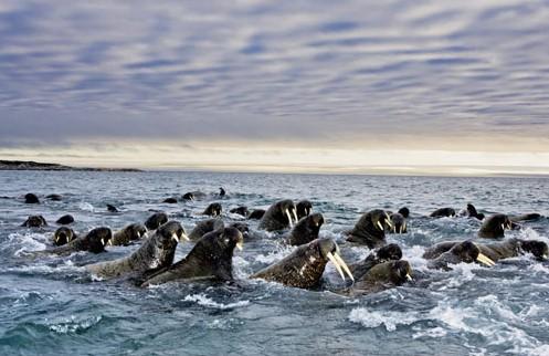 这种用肺呼吸的海洋哺乳动物在冰面上栖息,生育,哺乳和迁移.