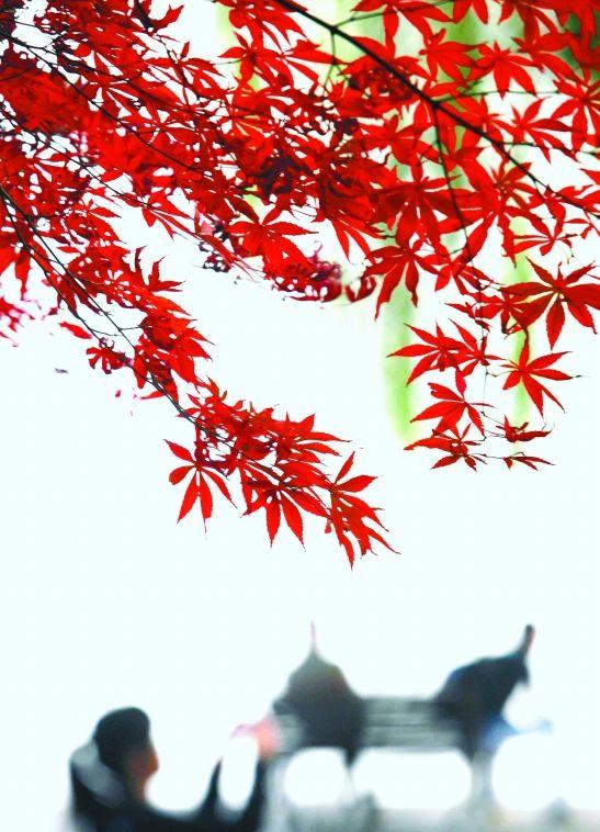 西湖边红色的枫叶