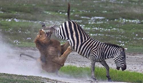 壁纸 动物 虎 老虎 桌面 500_291